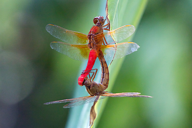 August 3, 2012 A pair of Neon Skimmers sharing DNA, the male is red and the female the orange/rust color.  After the transfer this dragonfly species separate and the female deposits her eggs in a body of water,  however some species of dragonflies couple with the male clasping the females head and he forces her to deposit the eggs with his DNA - why, because the next male would destroy the fertilized eggs that did not have his DNA - survival of the fittest.  Biology 101, class dismissed for the day!