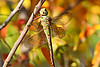 September 17, 2012 Gommon Green Darner (female) on fall foliage - We had rain all day yesterday so I spent some time looking through and editing photos from last fall,  I had an entire directory of this pretty lady that had never been reviewed.  Forecast is for sunshine and warm weather returning, but we sure enjoyed our cool wet weekend.