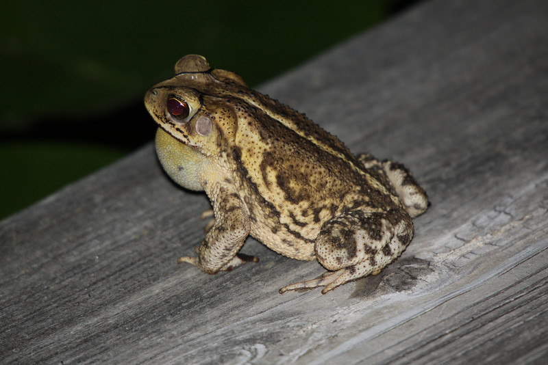 "May 23, 2012  ""Come to me my lovely""  The toads started singing last night (again) so I had to find one and get a shot.  This one SOOC using flash, too bad I did not capture his/her song.   Have a great Wednesday and remember the next toad you kiss may be your prince or princess."