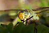 "October 4, 2012  ""Common Green Darner""  I found this lady on her back in my pool and unable to get airborne.  After rescue I warmed her in my hand before placing her a leaf while I captured several shots with my macro.  A few minutes later she took flight and resumed her normal activities - which hopefully will not include crashing in the pool again"
