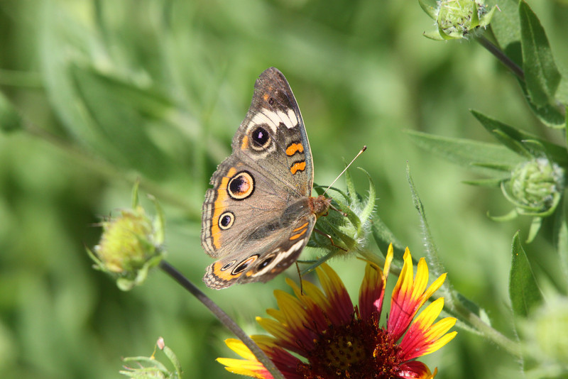 April 21, 2012  Buckeye on Indian Blanket - Captured in my prairie restoration research area -  Car show today, I have cleaned, polished, detailed everything at least 2 times.  I will be making a few comments now and the rest this evening,  Hope your Saturday is a good one.