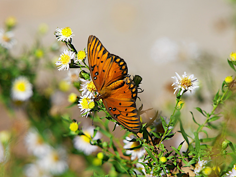November 15, 2012 Gulf Fritillary -  captured in my special patch of wild asters -  yesterday this patch of flowers was full of butterflies, bees and flies, even after 2 evenings of light frost.  The cool weather wiped out about 1/2 of my tomatoes and damaged a few tender plants but it is good to have a few insects surviving.