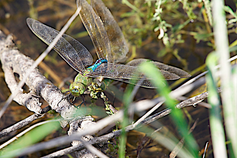 """October 6, 2012 """"Common Green Darner"""" this pair is depositing eggs in a local pond,  the male is clasping the female's eyes to insure that he retains control of the process.  Cooler weather here today, but not anything like what is happening up north.  have a great day."""