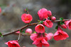 February 10, 2012 Flowering Quince