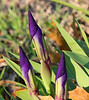 "January 29, 2012 ""Front Yard Surprise""  we have iris budding and ready to bloom in the front yard,  Last spring in the midst of drought we had no blooms.  I will be watching these buds with great interests (and camera at the ready)."