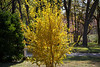 "November 29, 2012 ""Golden Glory""  The second and last spot of fall color in our yard,"