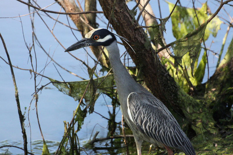April 7, 2012 Night Heron,  - out doing the same thing I am doing, hunting dragonflies