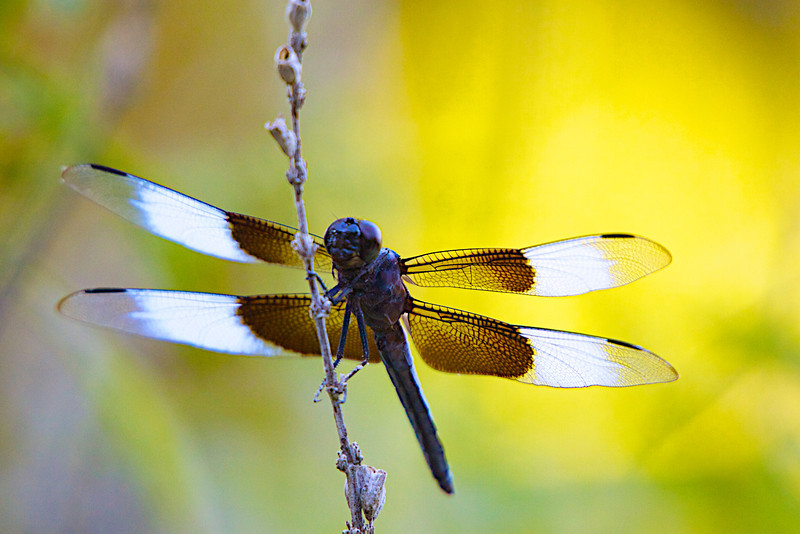 August 1, 2012 Widow Skimmer - I walked out the front door and this fellow was just sitting there waiting for me.  He was so close to the house I had problems getting enough distance between the dragonfly and the end of my telephoto.  Shot in the late afternoon towards the east, the light is reflected resulting in the interesting glow.