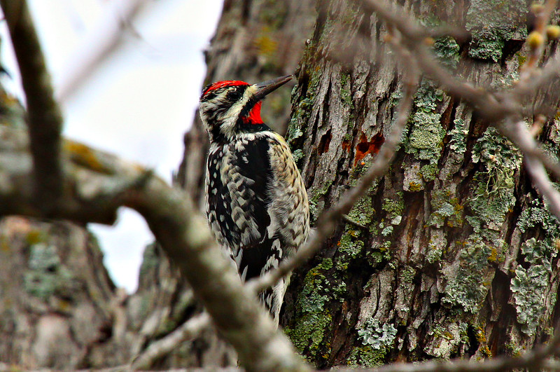 """March 21, 2012 """"Woodpecker on Pecan Tree""""  Yellow Bellied Sapsucker     The most difficult aspect of this shot was catching the little guy with his head still."""