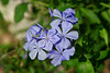 August 23, 2012 Blue Plumbago -  I have had problems in the past getting a sharp capture of these blooms,  this one is just about perfect,