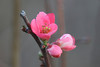 "January 22, 2012 ""Flowering Quince""  -  these often bloom early -  but this is January!"