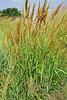 "September 21, 2012 ""Indian Grass:""  I shot this in my prairie research area,  This plant is just a little over 6 feet tall in its second season,  started from a single seed"