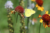"April 8, 2012 ""Clouded Sulphur on Pincushion Daisy"""