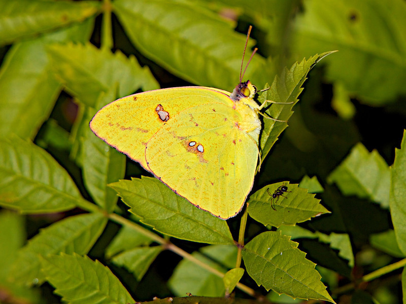 November 8, 2012 Clouded Sulphur and friend -  I have swarms of these yellow beauties fly around the yard (usually in pairs) I watched this one settle onto a front yard vine making for an easy capture me.