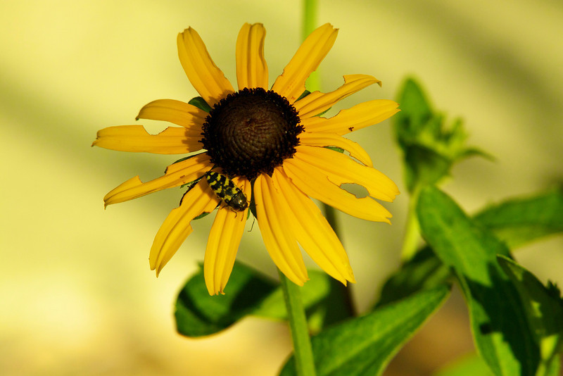July 2, 2012  Black-Eyed Susan -  We were surprised to see this bloom, we did not realize that it had survived last years heat and drought. ----  Today is a special day!  Phyllis and I are celebrating our anniversary and our good friend Art Hill is celebrating his birthday.