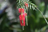 """March 6, 2012 """"Weeping Bottlebrush"""" I shot this at Waimea Valley,  I am just now trying to identify some of the flowers and plants that I photographed last month -  there are a lot of interesting shots to go through."""
