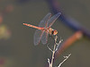 "December 19, 2012 ""Meadow Hawk"" It was really warm yesterday so I decided to try my hand at finding a dragonfly.  I found 2 different species, this one is a Meadowhawk, if winters are mild enough they can be found even in January and February."
