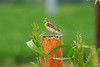 """May 2, 2012 Dickcissel  - spotted in my native prairie -( these guys like to sing) - sparrow-like bird of the prairie grasslands of the United States, the Dickcissel congregates in huge flocks in migration and on its tropical grassland wintering grounds.  ref <a href=""""http://www.allaboutbirds.org/guide/Dickcissel/id"""">http://www.allaboutbirds.org/guide/Dickcissel/id</a>"""