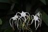 """February 25, 2012 """"Spider Lily"""" SOOC, Captured in Waimea Valley Botanical Center"""