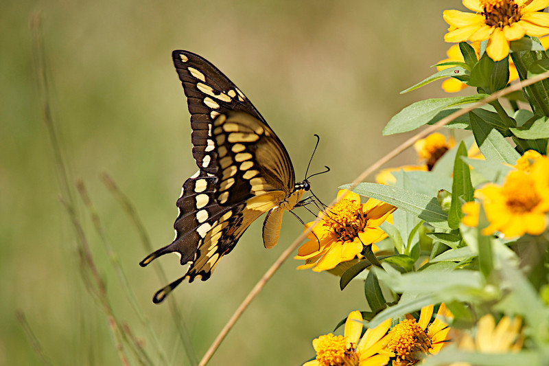"""October 7, 2012 """" Giant Swallowtail""""  I was using a gloomy (and quiet) day to pp some photos and especially liked the grasses in the bokeh.  Its cool here this morning, only 50 degrees but warm weather will be back starting tomorrow.   Have a great Sunday."""