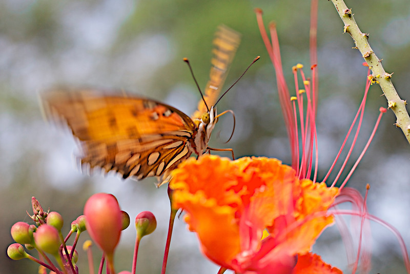 """September 2, 2012 """"Flutter-fly"""" Gulf Fritillary practices his balance as I work on my macro skills."""