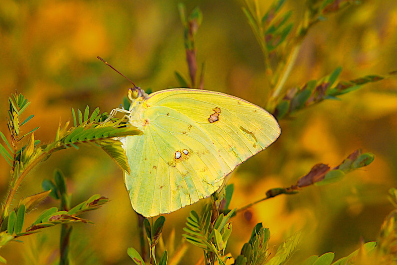 """August 16, 1012 """"Cloudless Sulphur""""   Capture in the early morning light.   This species is one of the more difficult to get a good shot of a  they flutter around a flower bed showing off their bright yellow wings.  This shot is slightly cropped but needed no other major editing."""