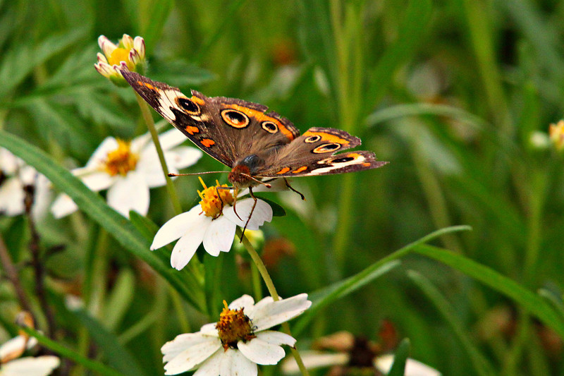 June 23, 2012   Common Buckeye on a blackfoot daisy  -busy week coming up - my son and granddaughter are flying in to Austin this morning.  :)