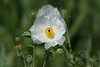 """April 16, 2012 """"Prickly Poppy""""  (SOOC) These are usually home to every bug in the neighbor hood so it is a treat to get one that is not all beat up.  Thank you for all of your comments on my Common Buckeye, you made my day - Papa."""