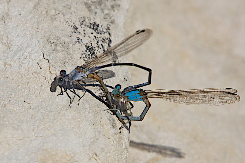 September 23, 2012 Damselflies - The male is the bright blue one,  captured on Cowhouse Creek,