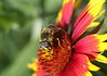 """April 29, 2012 """"Bee on Indian Blanket""""  judging by the amount of pollen on this bee he spent a good deal time exploring my native prairie plots.  Have a great Sunday."""
