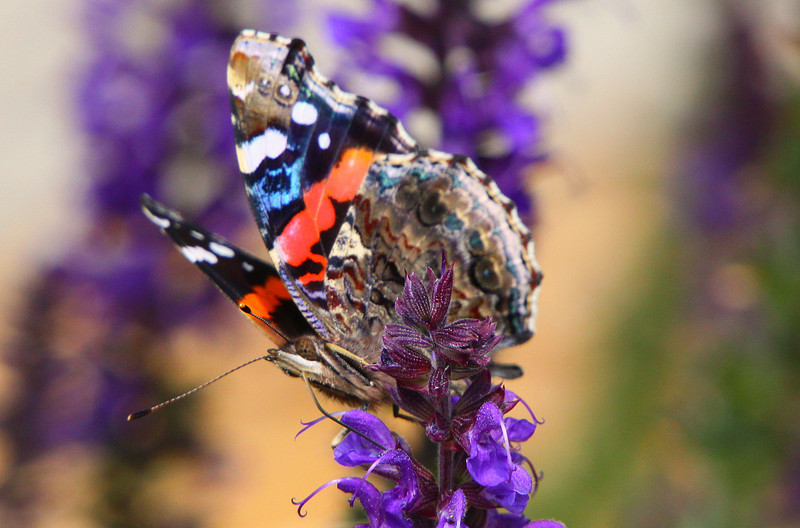 April 13, 2012 Red Admiral on sage - This one is best seen in the largest format.
