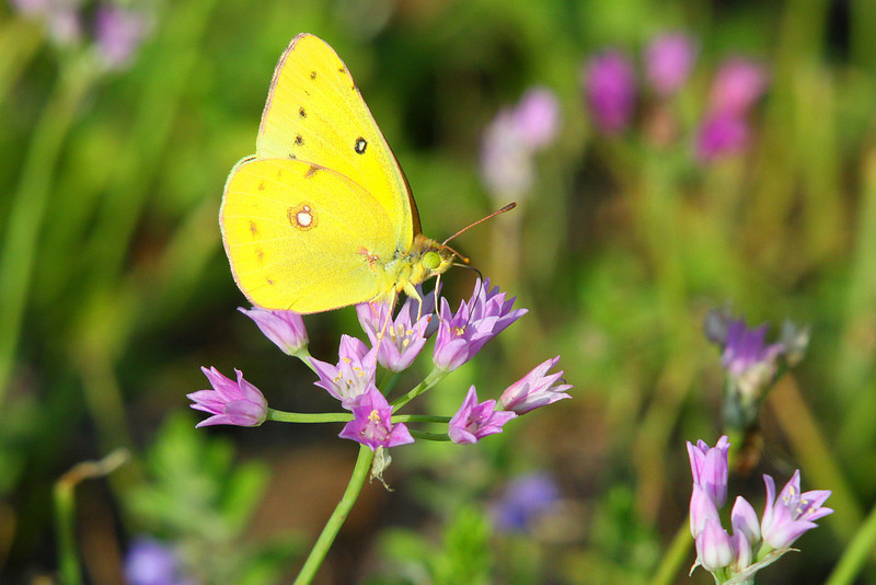 """March 31, 2012 """"Clouded Sulphur""""  Captured in the next door church yard.  Usually this species is hard to catch, but in this field of verbena I had 10-12 Sulphurs around me, This male sulphur was particularly ready to pose for his portrait while perched on a wild garlic bloom.  Very good in the larger format if you have the time."""