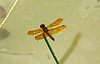 May 30, 2012 - Eastern Amberwing -  this is a little fellow, they patrol the edge of their ponds and defend their territory against other males,  both the male and female mimic wasps and can be fun to watch.   Yesterdays moth was a Amorpha juglandis (Walnut Sphinx )