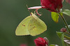 December 12, 2012 Clouded Sulphur on Shrimp plant,   I am going to miss this plant and the pretty butterflies that were flocking to it all  fall.