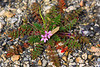 "February 2, 2012 ""Asphalt Weed?""   Some plants can seemingly grow anywhere! If you have time check the blooms out in the largest format."