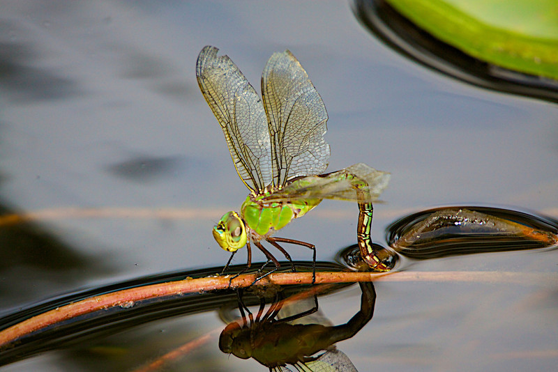 "August 18, 2012 ""Common Green Darner"" I caught this lady depositing eggs in my water garden.  We had rain, but the bottom of the rain gauge was not even wet,  :-("