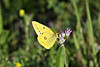 September 16, 2012  Clouded Sulphur - I saved this spring time photo for a rainy day - Today is the day as it is our third rainy day in a row.  I hope everyone has a great Sunday,  no yard work for me, I should be able to watch a little football and maybe go for a walk in the park.