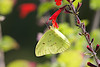 October 12, 2012 Clouded Sulphur -  I took several shots but this butterfly managed keep the sun on the wrong side, in the end I picked this capture because I liked the red and yellow colors