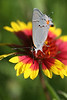 """April 24, 2012 """"My Flower""""  This little grey hairstreak held his ground while I used my macro lens to take his photo.  I you have time check out his face in the largest format."""