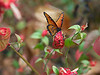 """December 17, 2012 """"Survivor""""  Even after a couple of hard freezes we still have a few flowers and butterflies this late in the season.  This queen is feeding on a shrimp bloom located close the front of to our home."""