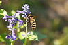"September 28, 2012 ""Busy Bee"" in the landing pattern for of my front yard salvias"