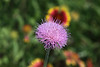 June 21, 2012  Thistle bloom, nice detail in the larger size - from my prairie research area