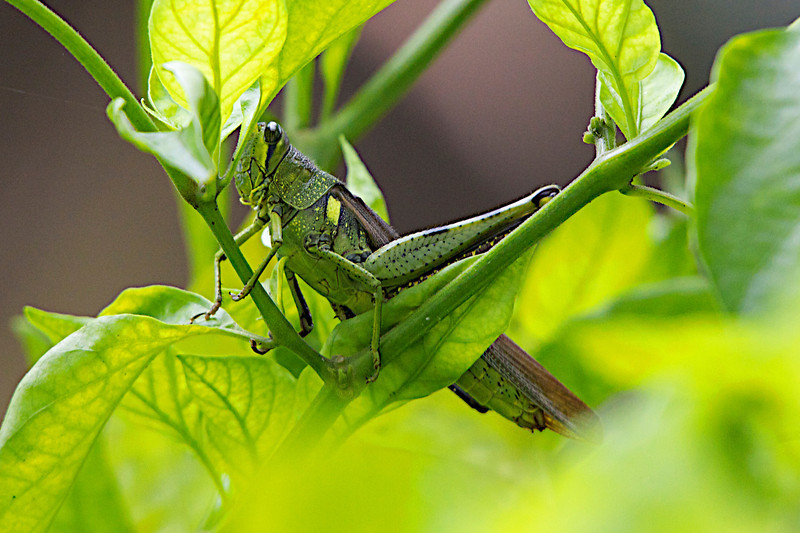 """October 8, 2012 """"Green Beast""""  Getting ready to eat a few leaves, or maybe the entire plant,  This species of grasshoppers are really giants,  when this fellow flew into my pepper plant I thought it was  a small bird until I finally spotted him 3 inches long and still growing!   Cold weather is gone and warm weather is back, have a nice day"""