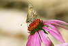 June 7, 2012   Skipper on coneflower (with little friend)