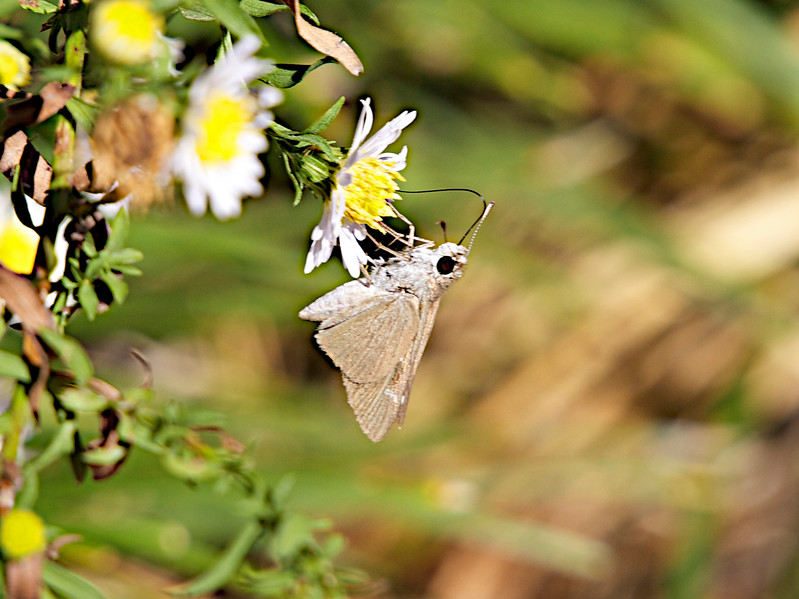 "November 13, 2012 ""Up Side Down Skipper""  Captured in my patch of wild asters."
