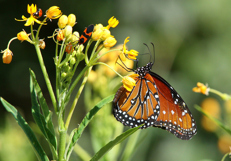 """May 18, 2012 - """"Three in one""""  Lady bug, milkweed bug and a queen butterfly"""