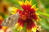 April 27, Butterfly on Indian Blanket