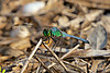 "September 5, 2012 ""Front yard guardian""  We had very few dragonfly visitors in 2011, but 2012 has been a great year for them."