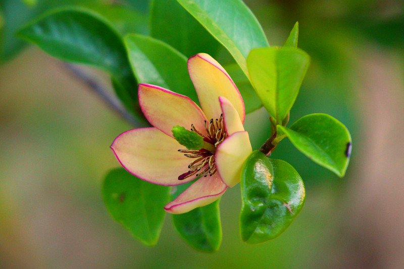 """March 23, 2012 """"Banana Magnolia""""  These blooms are about the size of a 50 cent piece and have a scent similar to banana - This small shrub is covered with blooms this year and the front yard smells like bananas."""