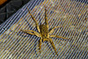 "October 9, 2012 ""Spider""  Another pool rescue,  This large wolf spider got no special treatment except being set in the sun on my pool skimmer. It took about 10 minutes for him to warm up and take off with out any further help from me.  I am heading down to campus this morning for a short meeting and should be back early this afternoon."